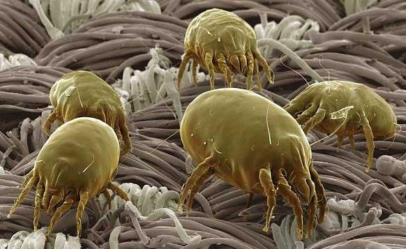 Пыльевые клещи в вашем старом стоптаном диванчике