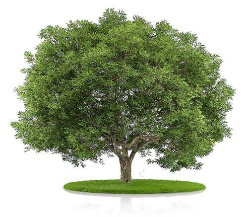 Дерево бука